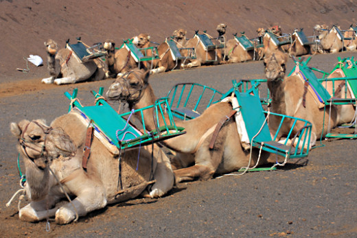 Camels waiting to walk the same old path as they've walked a thousand times before