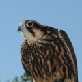 Peregrine falcon { Birds of Europe }