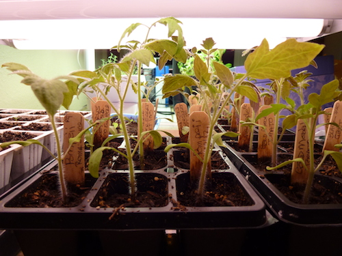 Seeds should be close to the light to avoid spindly plants.