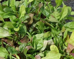 Growing Swiss Chard for a Summer Greens Harvest