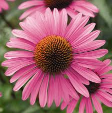 Echinacea flower. Also called purple coneflower.