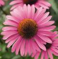 12 Health Benefits of Echinacea