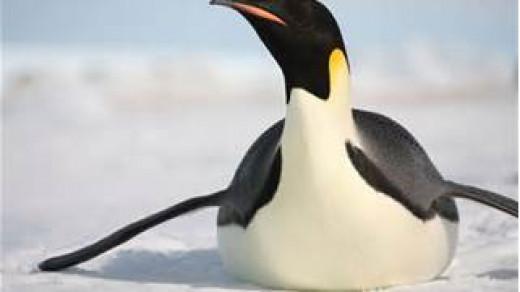 Emperor Penguin Slides on Ice