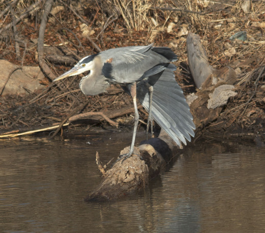 Great Blue Heron Stretches