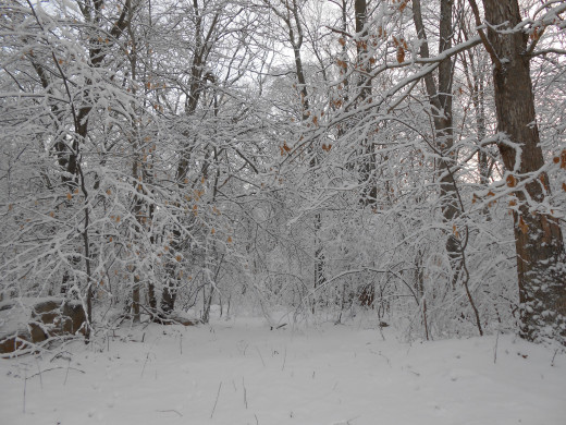 Walking in the woods on a snow day can be a very beautiful and peaceful experience.