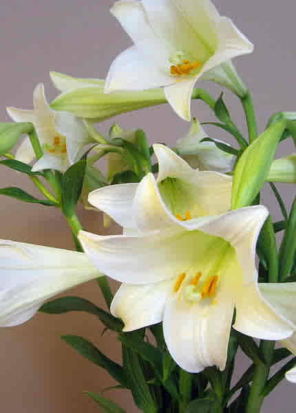 An Easter Lily.