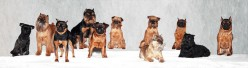 Brussels Griffons - Small dogs with big personalities