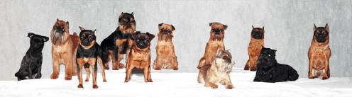Brussels Griffons can be rough- or smooth- coated, and come in colors: Red, Belge, Black-masked, Black, even Black and Tan