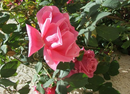 Pink rose from Emunah's Garden.