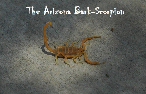 Arizona Bark Scorpion.