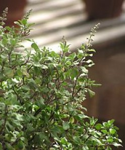 Tulsi an aromatic herb with amazing benefits