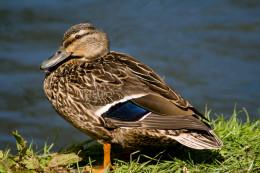Mallard duck photo, taken somewhere in Canterbury, New Zealand
