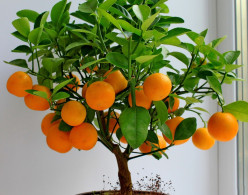 What is the best way to care for a 3-4 year old indoor potted dwarf orange tree?