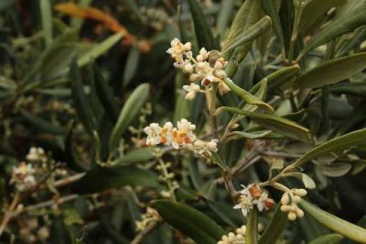 Flowering olive tree