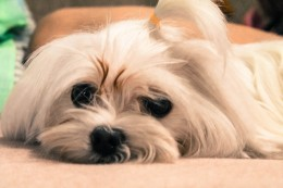 The Maltese does not stink, does not shed much, and is also really cute.