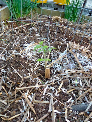 This newly planted tomato seedling is dwarfed by the tomato cage. By July, the Pineapple tomato will fill the cage and spill over the top.
