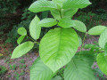 The Kratom Saga -- Who Shall Own the Healing Herbs?
