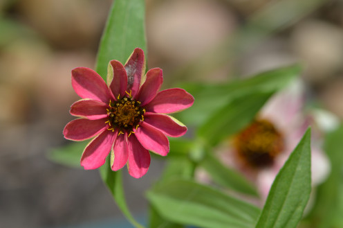 A spider hiding in a pink zinnia in my garden.  It would be so easy to miss.   There is one petal, that shows a kind of cloudy whiteness, which the spider is hiding under.