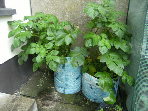 Potatoes I Grew in Plastic Containers