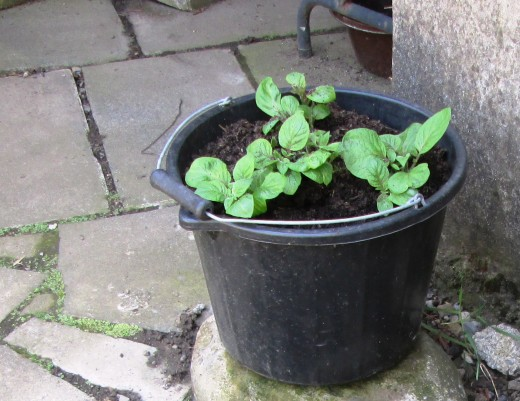 My potatoes growing in this container