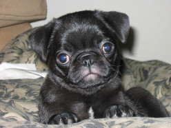Pugs Are Practically Perfect Companions!