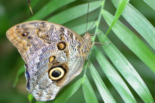 Owl Butterfly, one of my favorites!