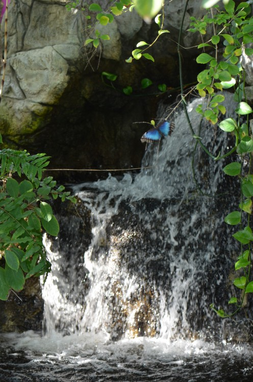 Blue Morpho butterfly by the waterfall