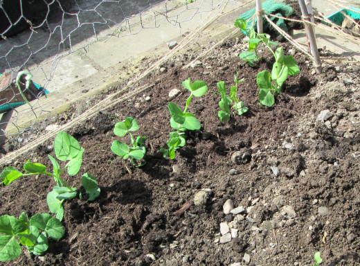 Peas planted in my garden with chicken  wire erected beside them to attach the peas as they grow larger