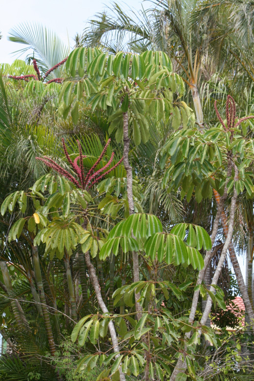 Byron Bay's climate supports rainforest trees.