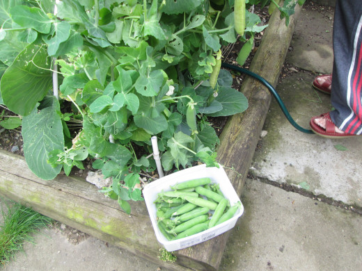 My Garden Peas