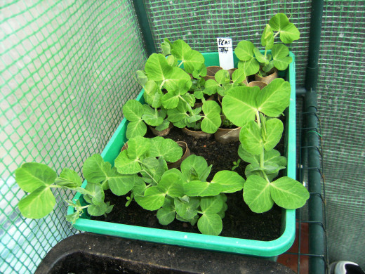 These are the peas I sowed in the cold frame.  They are ready to be put in the ground now