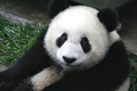 Seven-month-old panda cub in the Wolong Nature Reserve in Sichuan, China.