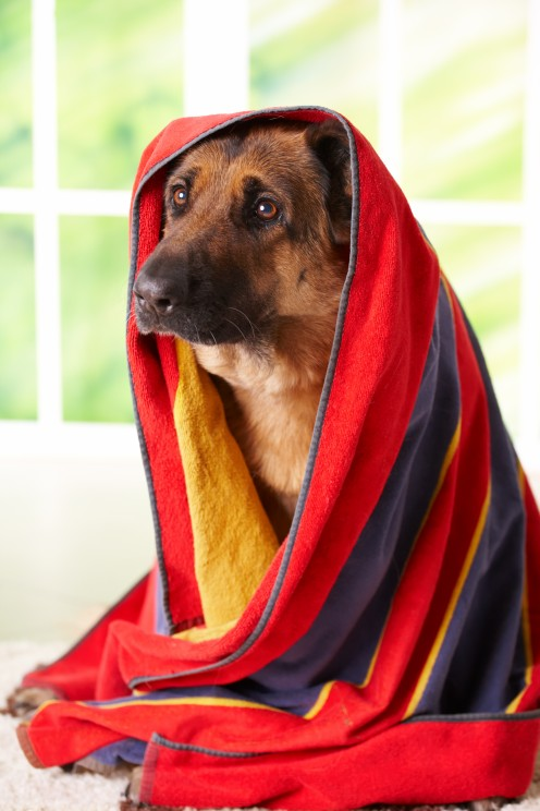How cute is this German Shepherd all wrapped up?