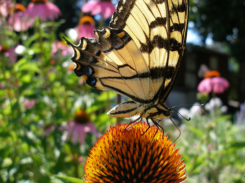Swallowtail Butterfly on a coneflower