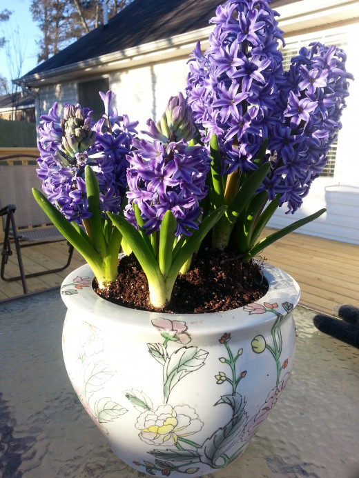 Glazed-clay pot with Blue Hyacinth.