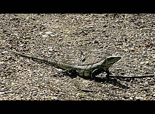 Iguana at Chaa Creek