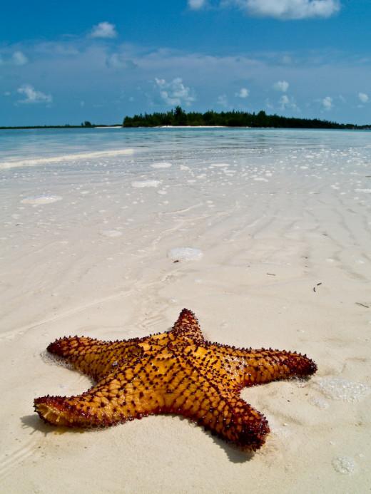 A Caribbean Starfish