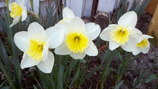 Daffodils-white with yellow center