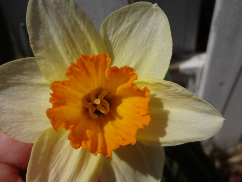 "Daffodil ""Salome"""
