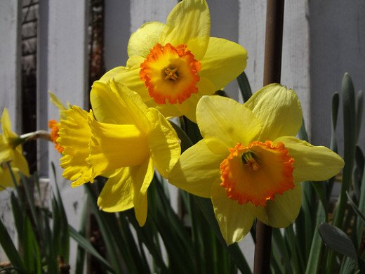 Daffodils-yellow with orange center