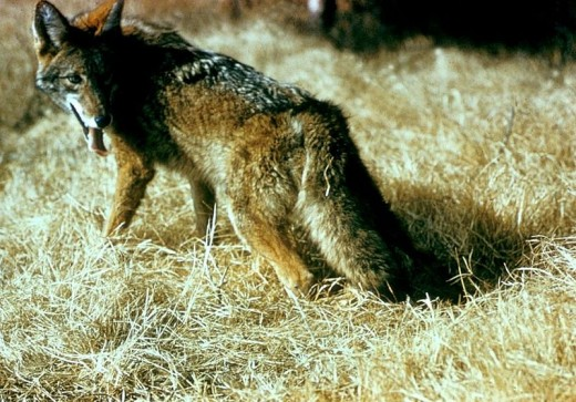 Skinwalkers' animal form of choice seems to be that of the coyote.