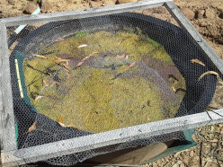 Grey Water Clean Up With Azolla Update