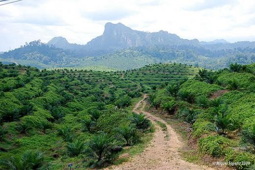 African palm tree plantation.