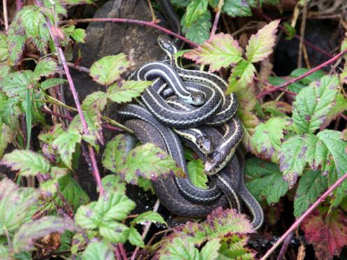 Black and white snakes.