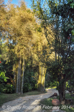 Beautiful bamboo trees of different colors line the walkways of the resort.