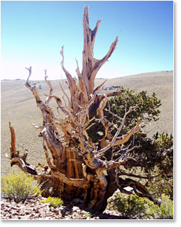 Ancient Bristlecone Pine Forest in the White Mountains.
