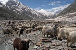 The Herd in Lahaul