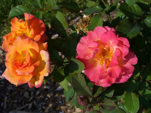 The colors of these roses, as they reflect the sun are just so gorgeous.