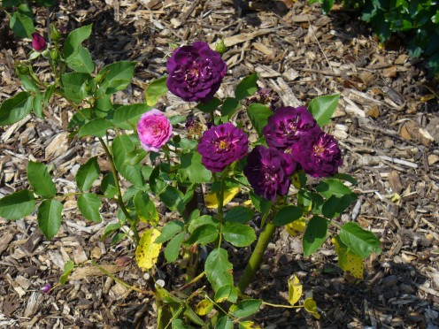 Purple colored roses.