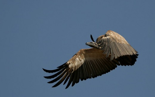 A mysterious and majestic vulture in flight. We can see here why Nekhbet was depicted as a vulture.